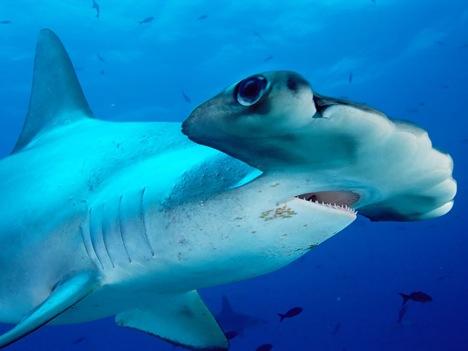 tiburon-martillo_1