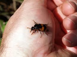 escarabajo de tierra