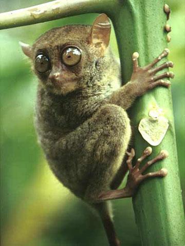 tarsier-filipinas