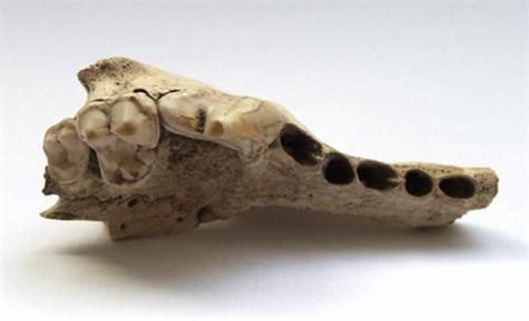 Hallan fósil de perro de más de 33.000 años