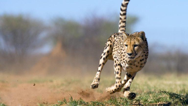 Por qué el guepardo es el animal más rápido