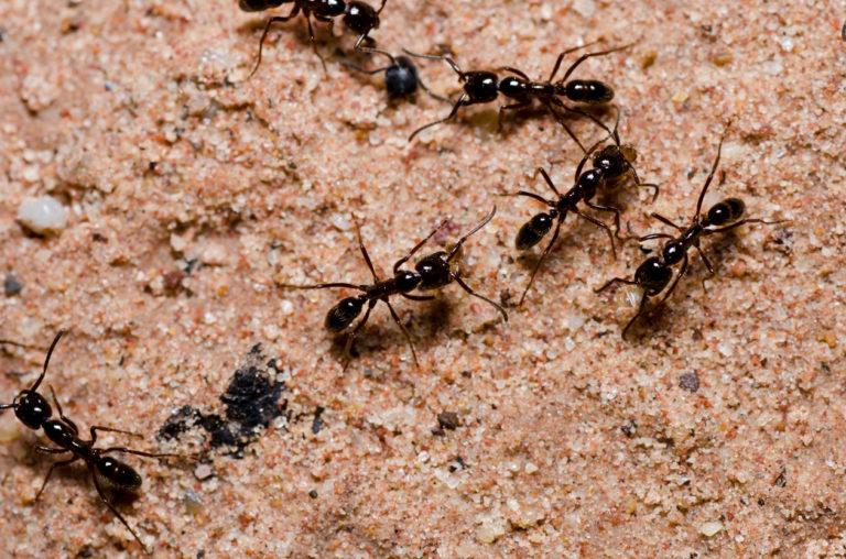 Preocupación por hormigas locas en Estados Unidos
