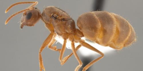 hormigas locas de Raspberry