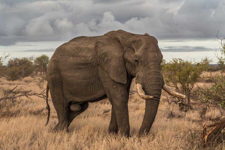 ¿Qué debes hacer si te ataca un elefante?